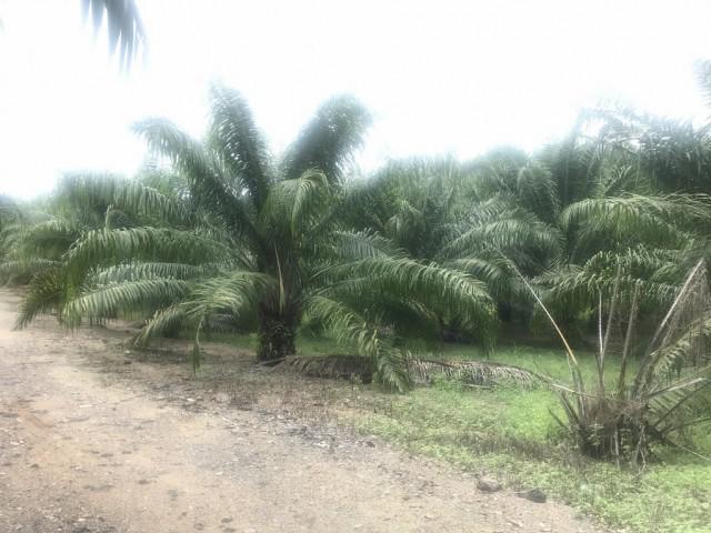 ขายที่ดินพังงาเป็นสวนปาล์มโคกกลอยห่างถ.บายพาส400ม.เนิ้อที่3ไร่เศษขาย 9 แสนต่อไร่
