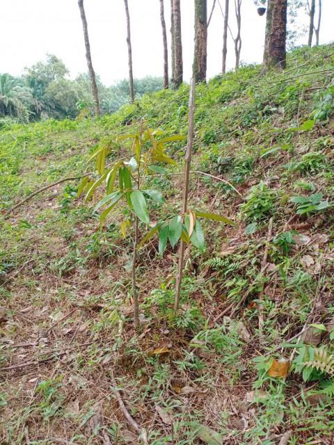 ขายที่ดินพังงาสวนผลไม้อำเภอกะปง เนื้อที่ 21ไร่เศษ ขาย 4.5 แสนต่อไร่