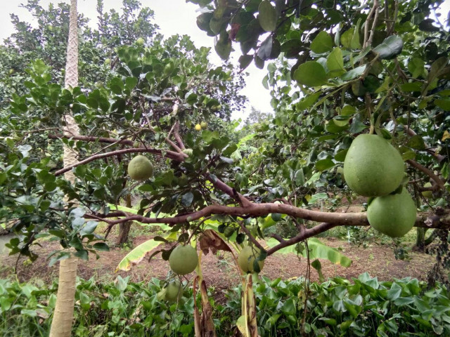 ขายที่ดินสวนผลไม้ส้มโอ ใกล้อบต.บางนางลี่ อัมพวา เนื้อที่ 3ไร่เศษ ขาย 7.5 ล้าน